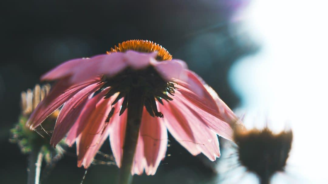 daisy in sunlight